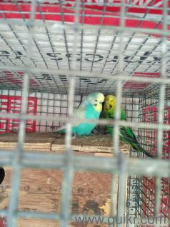 Indian Big love birds for sale in Sinhagad Road, Pune Pets