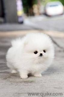 Teacup Pomeranian Maltese Yorkshire Terrier Chihuahua Puppies For