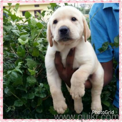 top quality Labrador puppies in Begumpet, Hyderabad Pets on Hyderabad Quikr Classifieds