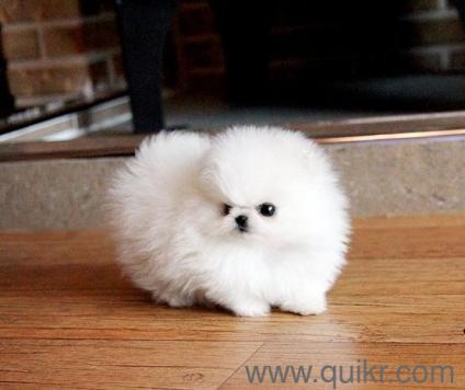 teacup Pomeranian, Maltese, Poodle, Yorkshire terrier