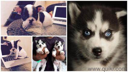 Siberian Husky French Bulldog Chow Chow Maltese Puppies For Sale