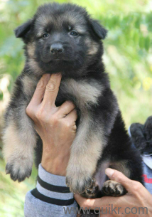 Double Coat Heavy Bone German Shepherd Puppies Are Available In