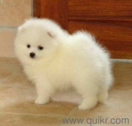 Thailand Import Snow White Pomeranian Puppies For Sell In Mumbai In
