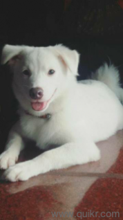 Pomeranian For Adoption In Mumbai In Santacruz West Mumbai Adopt