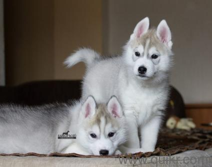 Siberian Husky Show Quality Puppies In Pune Kci Registered In Pune